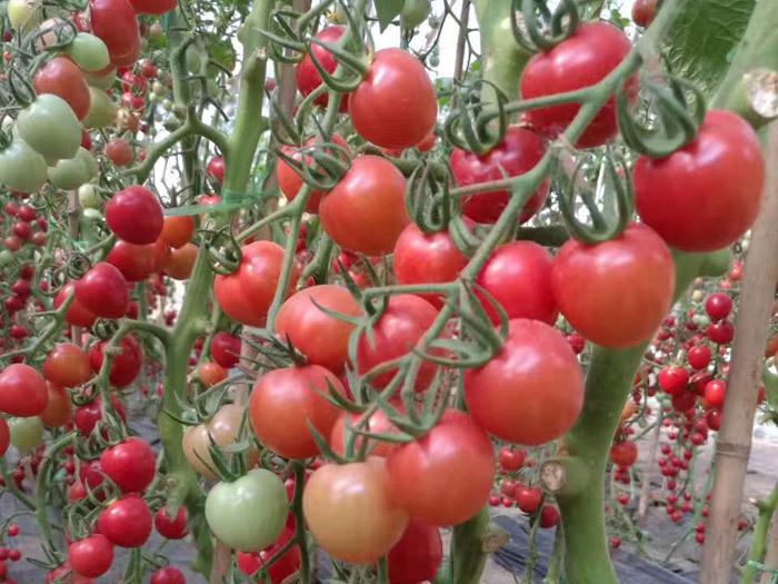 冬季番茄栽培新技术