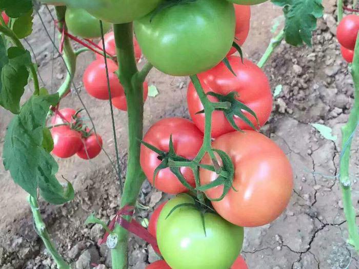 寿光博雅农业科技有限公司之粉果西红柿种子