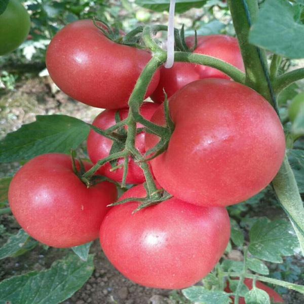 夏美优冠粉果西红柿