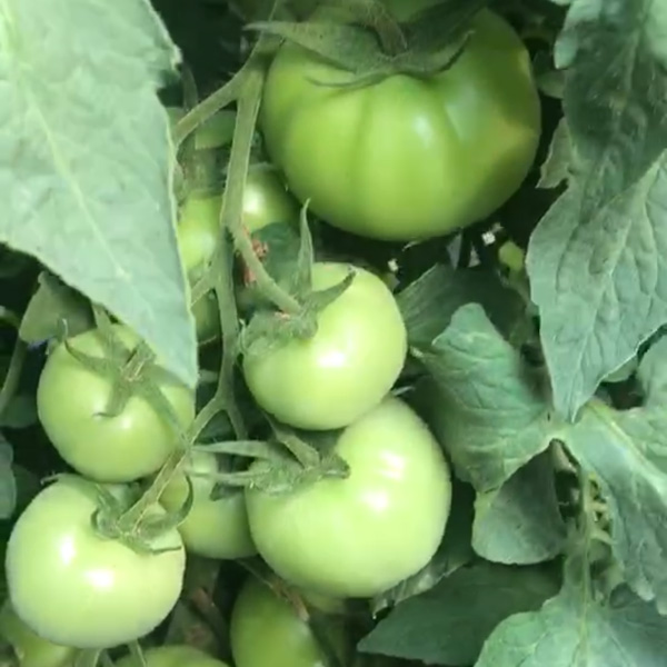 粉丽1701大果西红柿品种