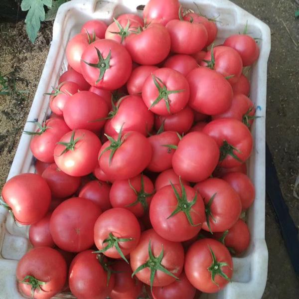 专业供应优良粉果西红柿种子 粉果西红柿种子代理