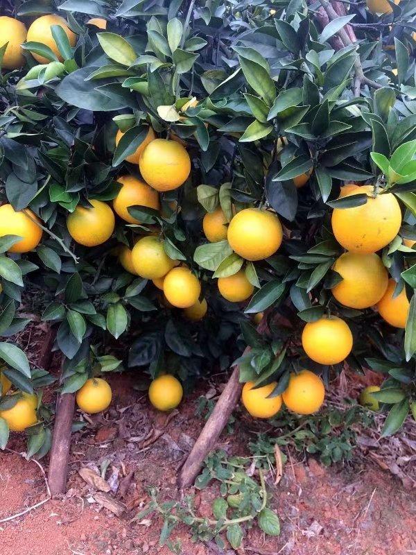 贺州富川脐橙出售|贺州市爱上芗籿专业供应富川脐橙