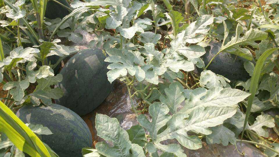 西瓜采摘总结西瓜的营养价值和功效