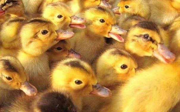 麻鸭批发价格之养麻鸭需要注意什么