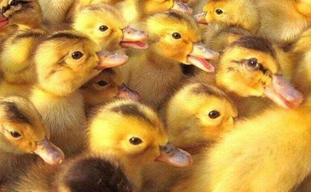 养殖番鸭比较简单,技术方面大家都可以轻松上手,但是想把番鸭养好,让自己的鸭子更具有竞争力就不是那么简单的了。人的番鸭养的好是因为人家抓住了这些要点,大家不要在羡慕了,做好这些你养的也差不到哪里去的。今