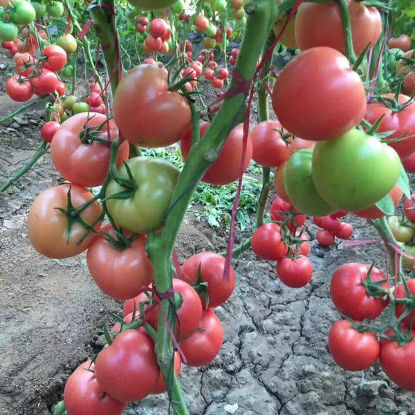 粉果西红柿种子种植管理|博雅农业专业批发粉果西红柿种子