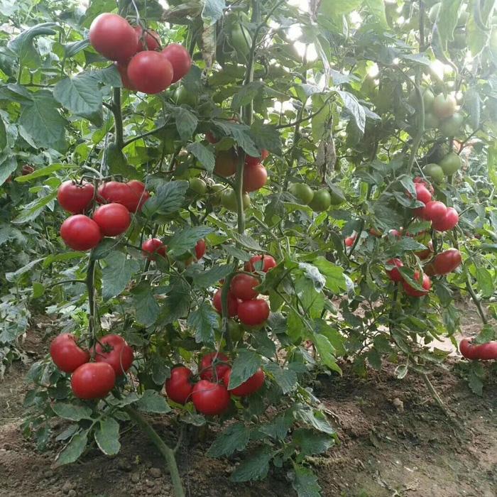抗黄头西红柿品种