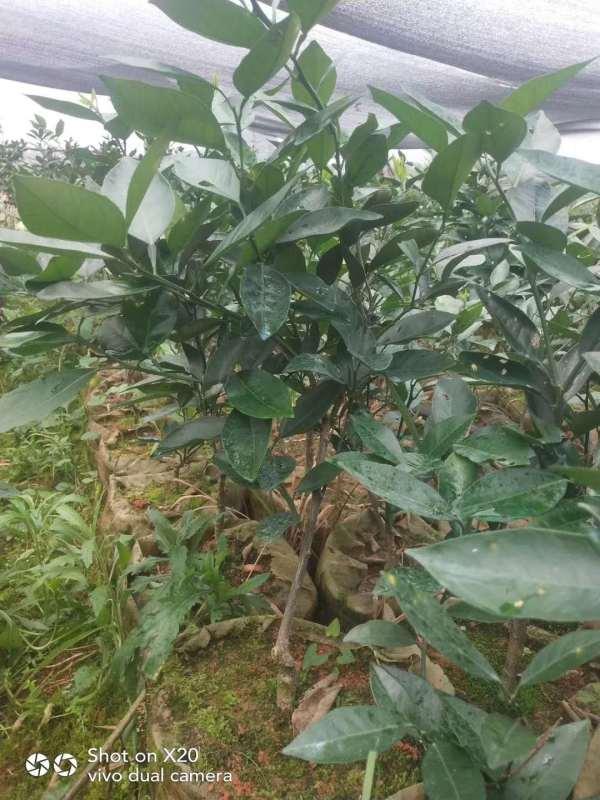 贺州市八步区现代农业种植----沃柑果苗