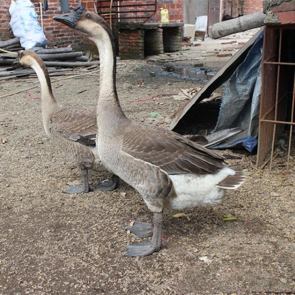 半番鸭和全番鸭的区别以及养殖注意事项