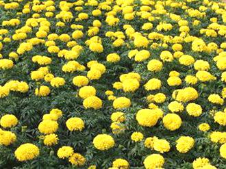 万寿菊苗圃