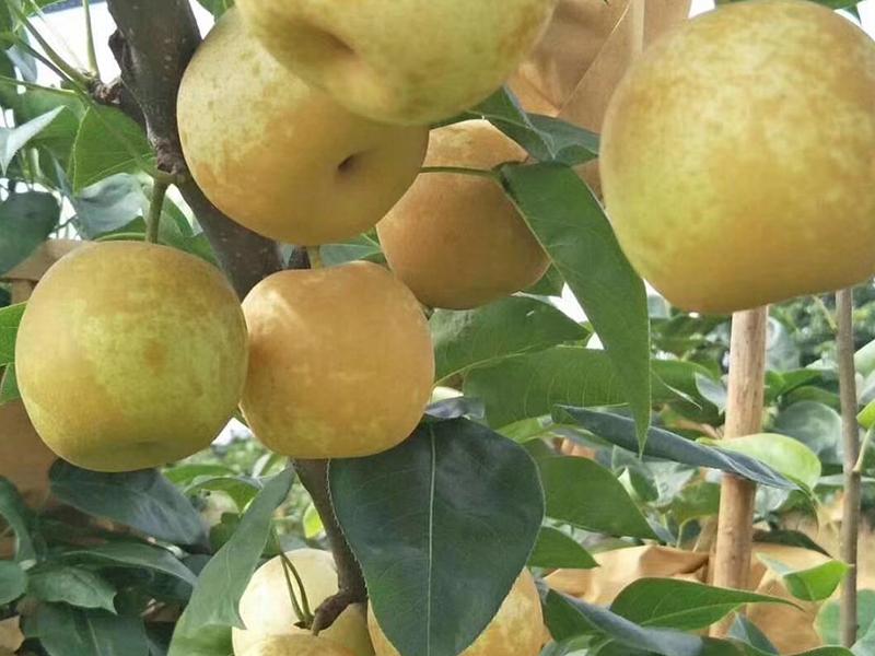 鹰嘴蜜桃批发|划算的水晶梨推荐