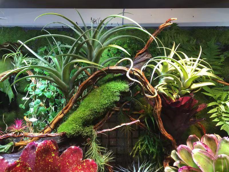 雨林缸造景植株