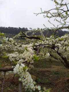 每年的立春的时候,中国。贺州李子之乡的李花开放,来自全国各地的旅客看花、赏花,喜迎春天的到来