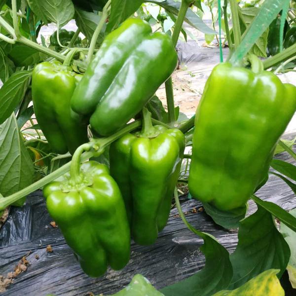 博雅农业�尖椒种子品质好,尖椒�种子批发