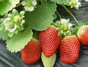 重庆草莓采摘教你怎么挑选草莓
