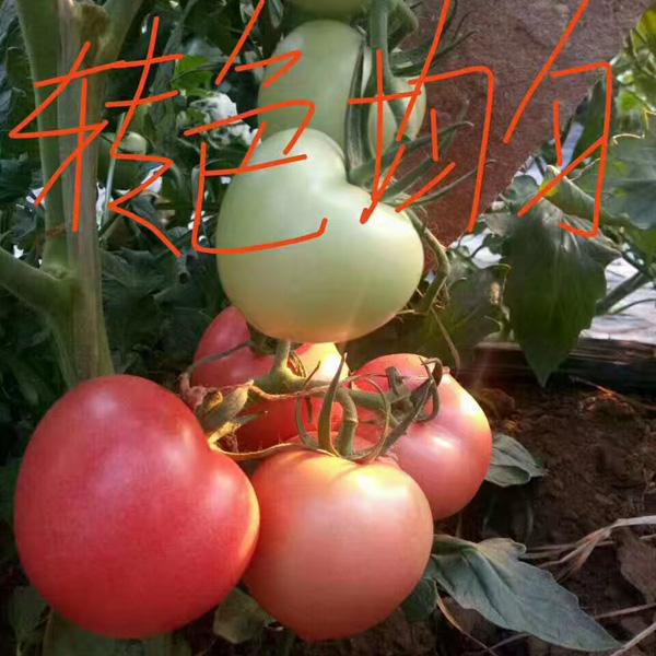 博雅农业专业批发粉果西红柿种子 粉果西红柿种子哪家好