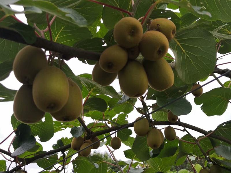 选购红心猕猴桃德庆县新一代农业开发有限 鹰嘴水蜜桃