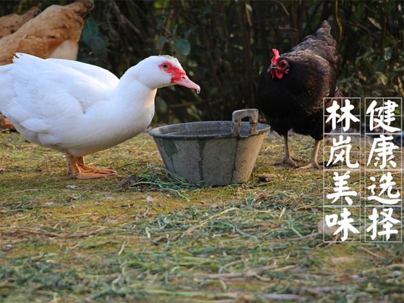 优良的瑞康食品番鸭,瑞康食品供应-白番鸭苗价格