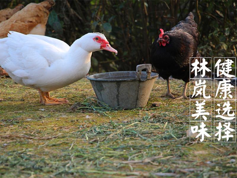 番鸭养殖成本