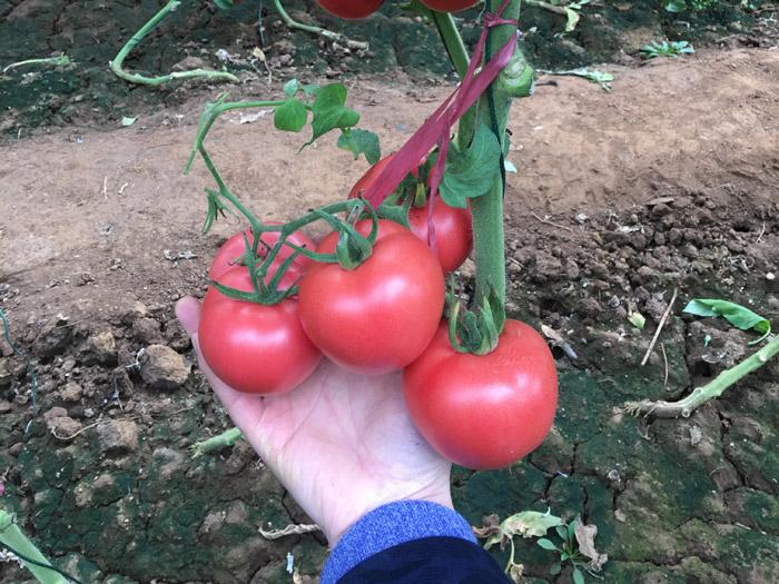 潍坊西红柿种子专业供应商 广东西红柿种子