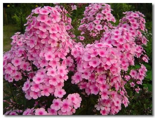 叢生福祿考苗圃,口碑好的叢生福祿考就在合勝花卉苗木