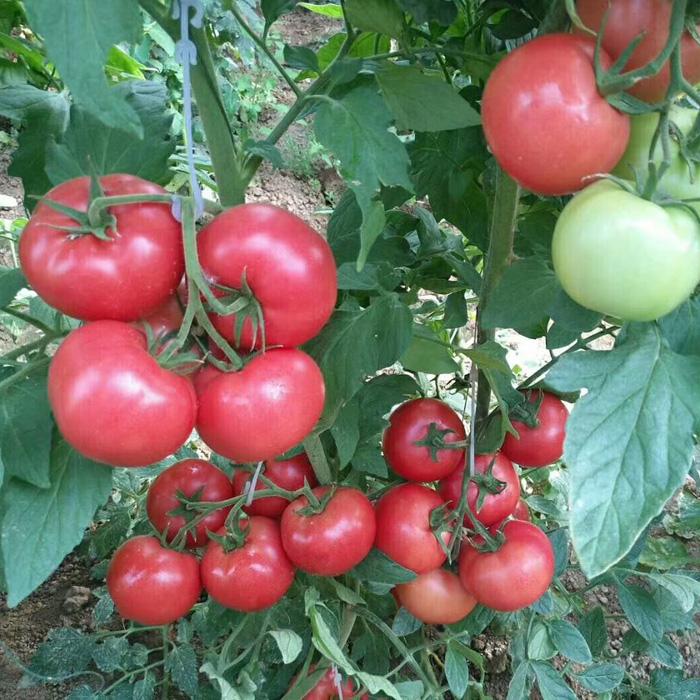 西红柿座果灵
