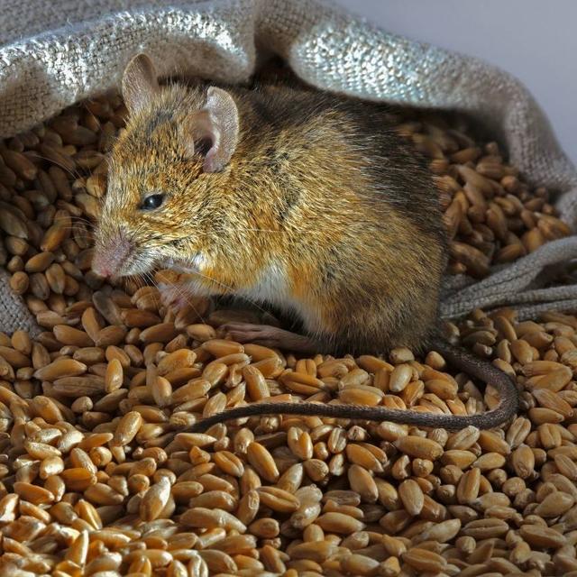 特色老鼠防治与灭杀