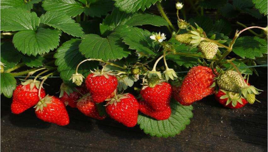 草莓品种大全有哪些