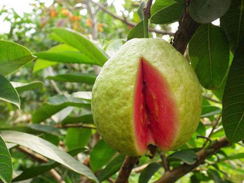 高質量的紅心芭樂德慶縣新一代農業開發有限供應|翁源三華李