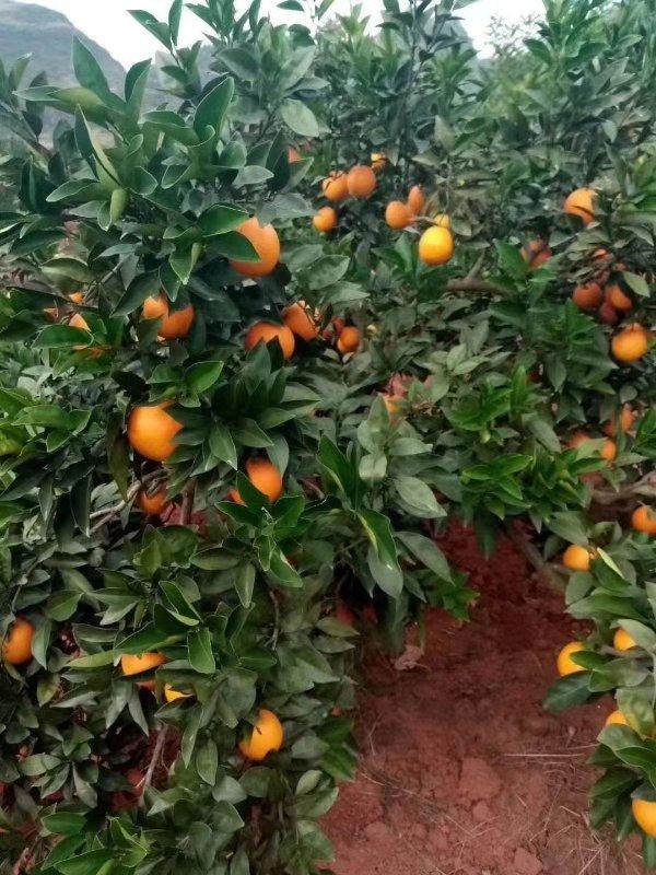 贺州富川脐橙代理商 热卖富川脐橙推荐