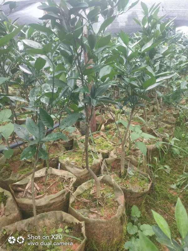 中国现代农业种植-----无核091沃柑果苗