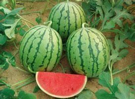 西瓜的品种分类重庆西瓜采摘告诉你