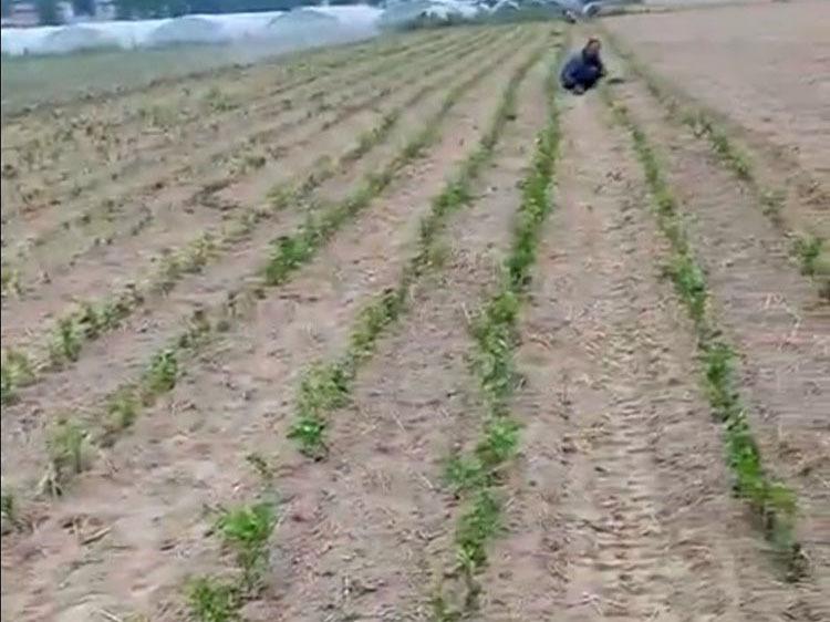 菊花移栽后浇水施肥安排