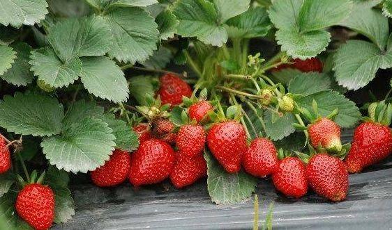 重庆草莓采摘园:盆栽草莓浇水的误区