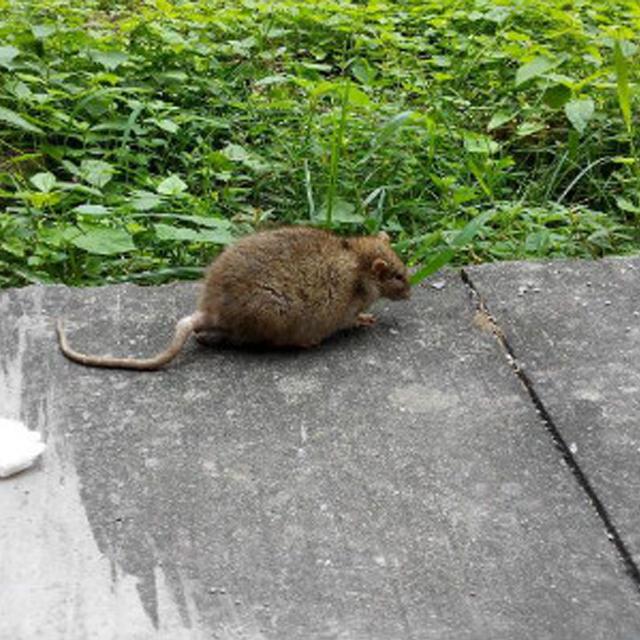 家庭灭鼠简单的方法是什么?