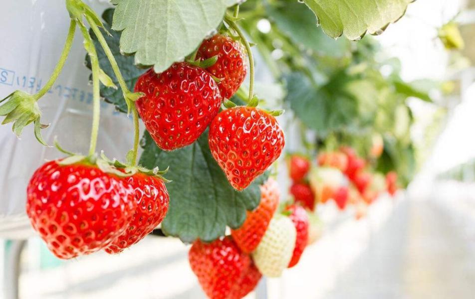 草莓采摘基地告诉你农家肥对草莓有哪些好处