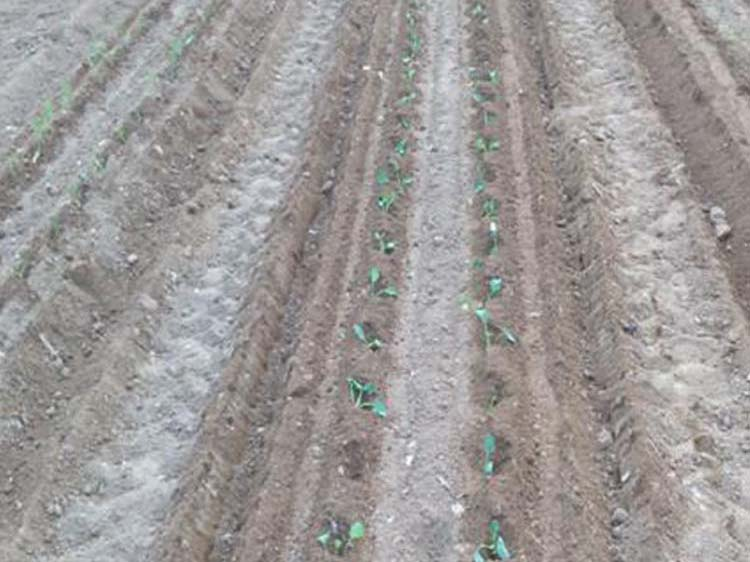 濰坊耐用的西蘭花移栽機哪里買 吉林西蘭花栽苗機