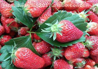 重庆主城最近的草莓采摘基地