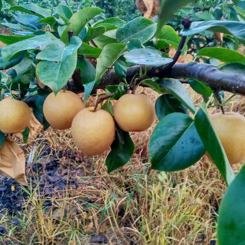 连州水晶梨