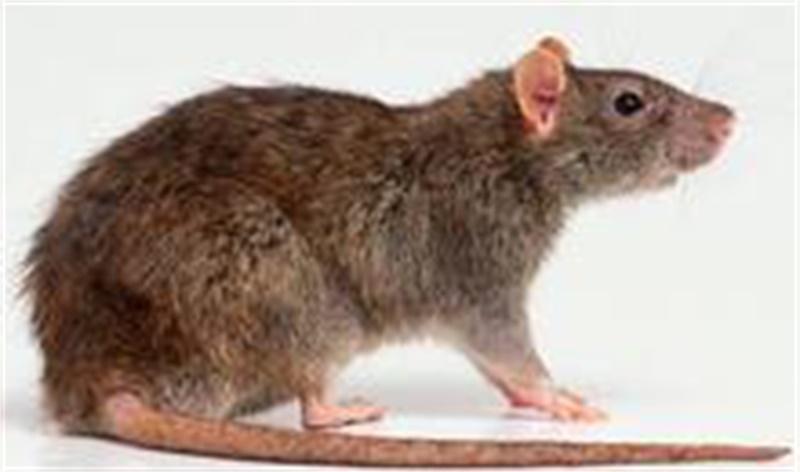肇庆信誉好的灭鼠哪里有-专业杀虫公司