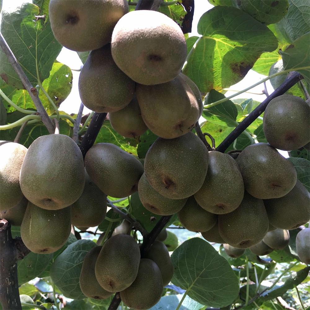 红心猕猴桃品种