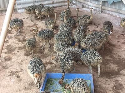 鹧鸪养殖的生活环境及养殖的注意事项介绍