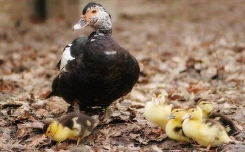 夏季番鸭养殖的实用技巧及细节要点,干货分享