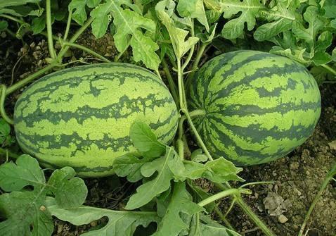 西瓜采摘告诉你冬天能不能吃西瓜吗