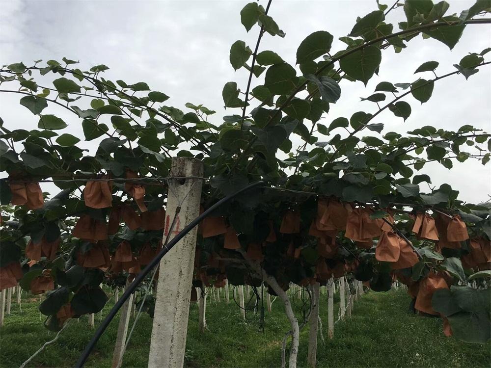 大量供应实惠的红心猕猴桃,鹰嘴蜜桃供应