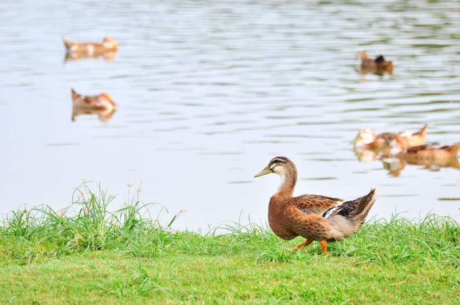 麻鸭苗批发基地教您养殖殖番鸭,如何喂养可以让它长肉快
