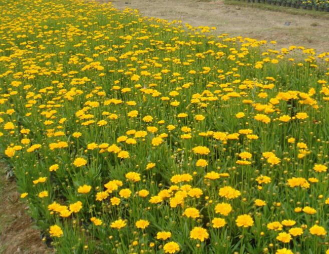大量供應口碑好的金雞菊,哪里有金雞菊