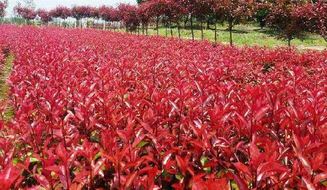 红叶石楠种植-潍坊红叶石楠批发价格