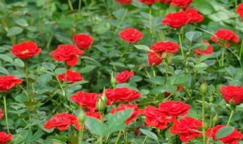 红宝石月季