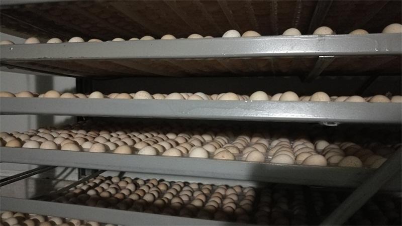 来李斌鹧鸪,买优良的鹧鸪蛋出售|哪里批发鹧鸪蛋批发
